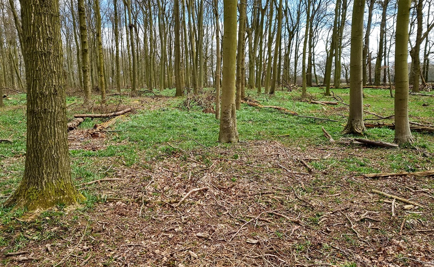 Damaged woodland floor with no more bluebells and ash dieback trees falling down