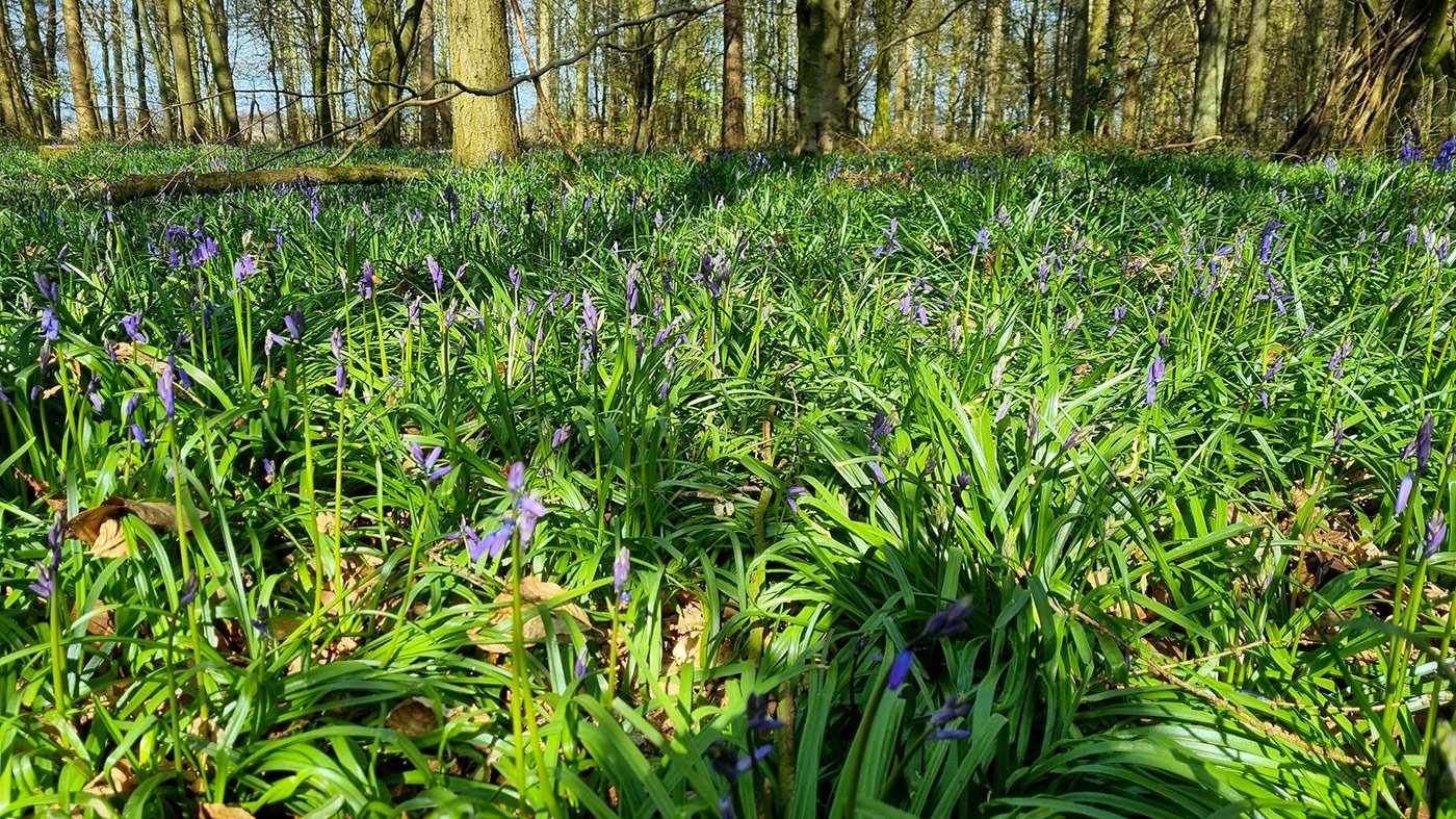 Woodland floor with bluebells getting ready to bloom in a few weeks time
